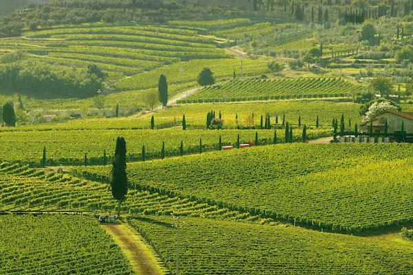 montalcino-vigne 2